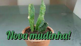 Cactos - Opuntia monacantha ?