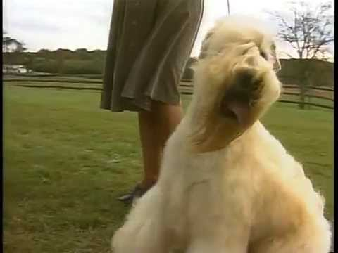 Soft Coated Wheaten Terrier - AKC Dog Breed Series