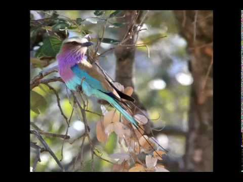 Tribute to Lilac-breasted Rollers, Coracias caudatus and Abyssinian Rollers, Coracias abyssinicus