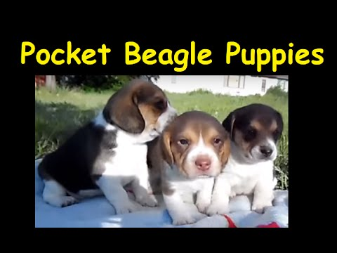 Miniature Pocket Beagle Puppies For Sale Tiny Beagles Video