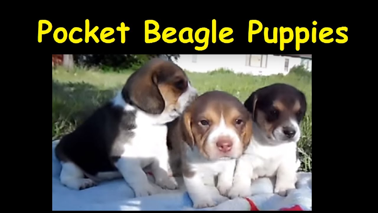 Simple Tiny Beagle Adorable Dog - maxresdefault  Image_23196  .jpg