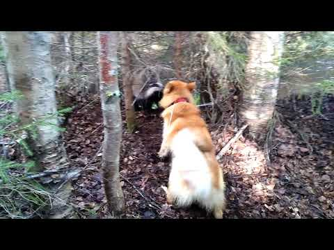 Finnish Spitz finds a surprise on a walk