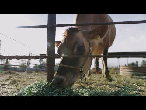 Milking Cows With Lasers And Robots