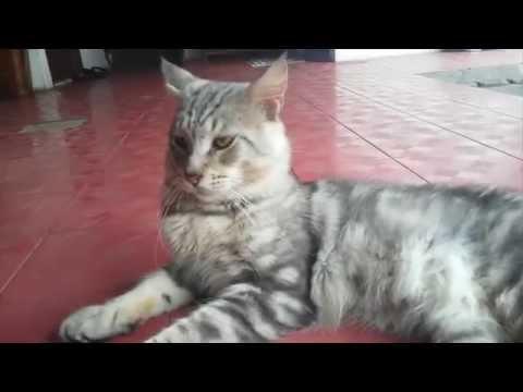 Apa Itu Kucing Maine Coon?