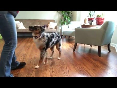 australian-shepherd-puppy-off-leash-obedience-training-on-an-e-collar