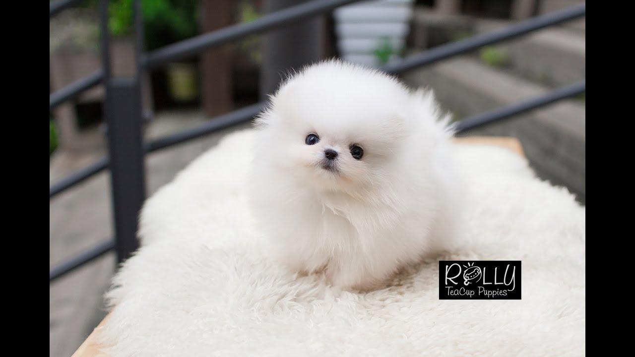 Teacup Cream Pomeranian Way Too Adorable Sunny Rolly