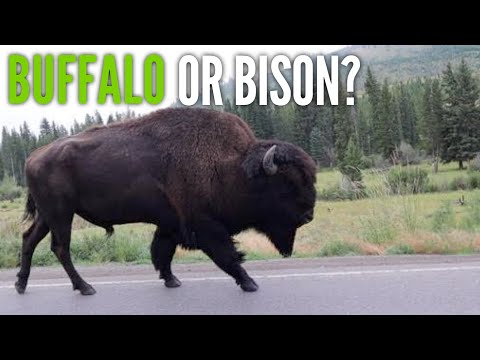 Best Spot for Yellowstone Sunrise & Buffalo or Bison??