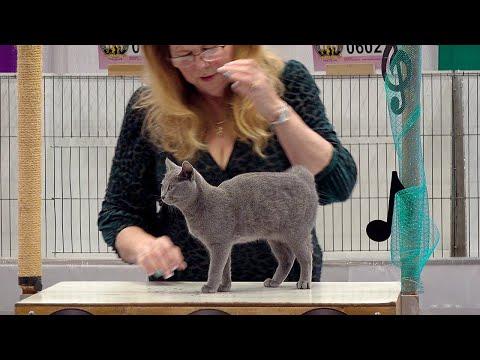 CFA International Show 2019  Chartreux Kitten Class Judging