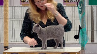 CFA International Show 2019  Chartreux Kitten Class Judging