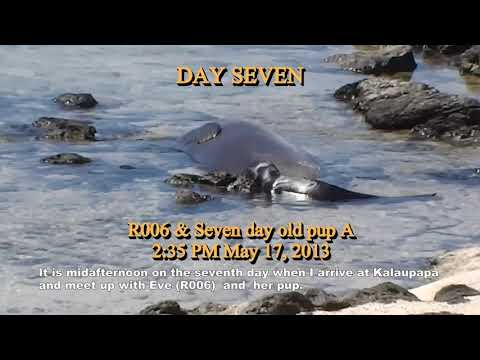 Documenting the True Life History of the Hawaiian Monk Seal From Birth to Weaning (short)