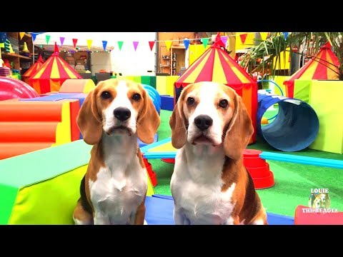 Indoor Playground Fun for Dogs! Funny Dogs Louie & Marie