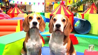 Fun for Dogs! INDOOR PLAYGROUND ! Funny Dogs Louie & Marie