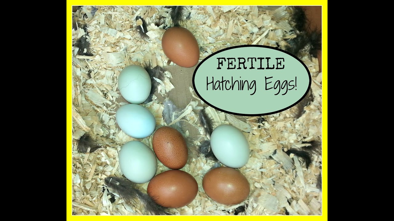 Egg processing before incubation in different ways