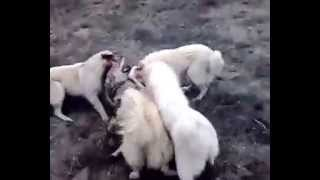 Wolf vs dogs