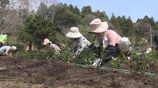 水戸藩2代藩主の徳川光圀が愛好し、名付けたとされる「初音茶」の生産...