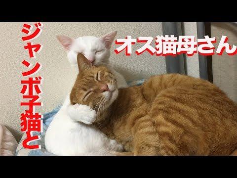 ベテラン子猫vsオス猫の暴走母性、全面対決する The male mother cat VS the big tabby kitten