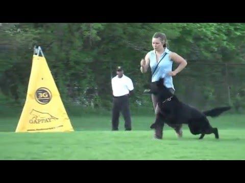 2015 Working Dog Championship Jagr von Wolfstraum obedience