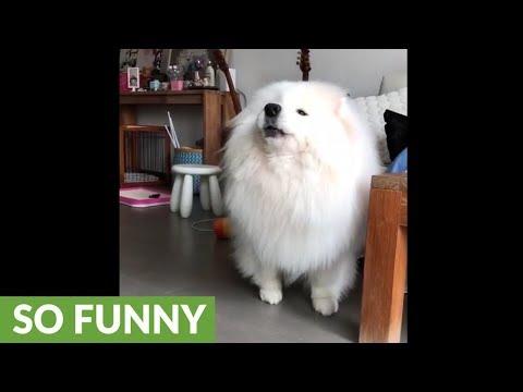 Shiba Inu baffled when Samoyed howls along to music