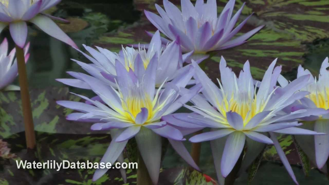 Star Of Siam Water Lily Video Garden Pond Lily Pond Flowers Blue