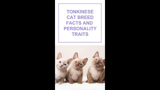 Tonkinese Cat Breed Facts and Personality Traits #Shorts