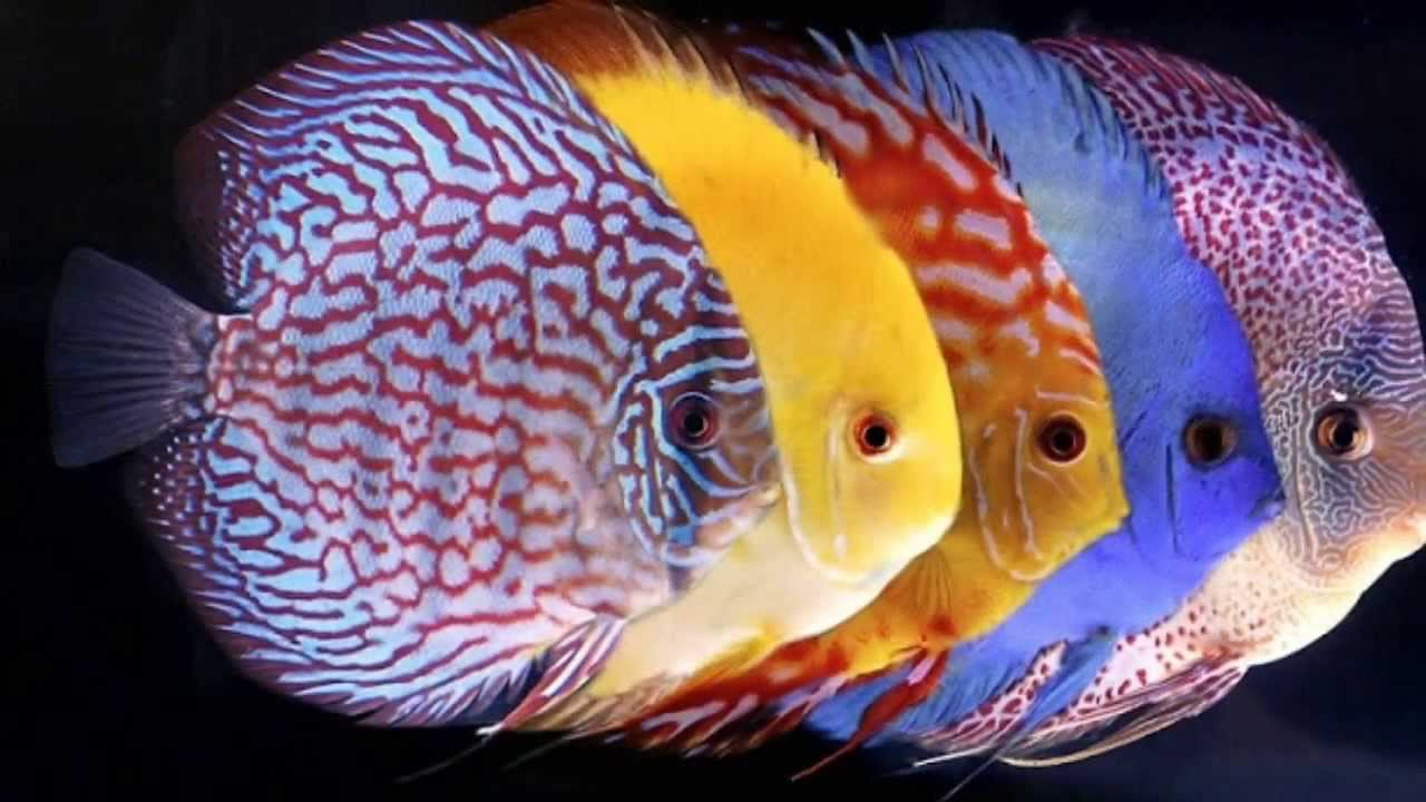 discus fish care 1 youtube