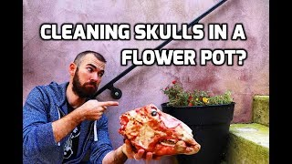 Cleaning a Skull in a Flower Pot (NO SMELL!)