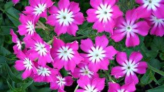 Очаровательные флоксы в саду. Фото цветов флокс