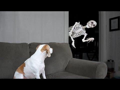 Halloween Streich: Skelett erschreckt Hund