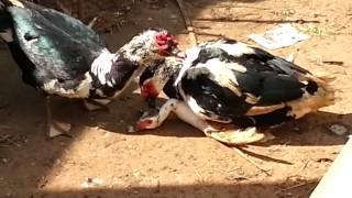 Pato acasalando
