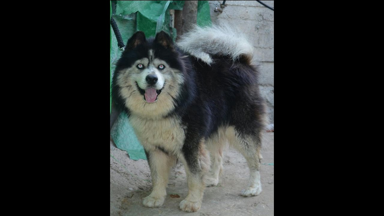 Available Husky Siberian