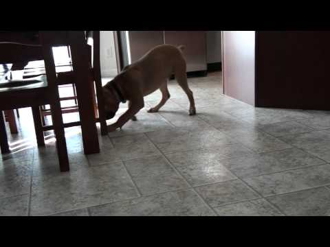 Repeat Bego, 5 month old boerboel south african mastiff by