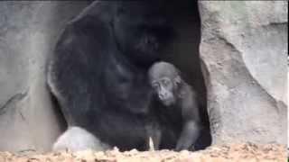 El gorila macho Mambie jugando con su hijo Ebo (Bioparc Valencia)