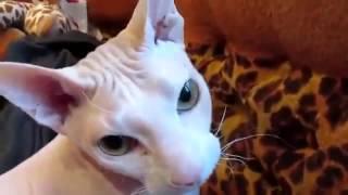 Прикол! Кот сфинкс  выдает речь!