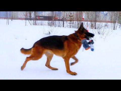 German Shepherd Help Surveyor