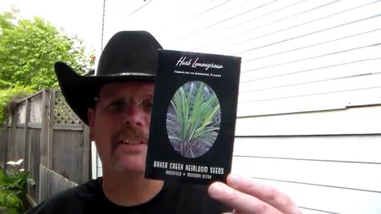 How to grow lemon grass from seed - How To Grow Lemon Grass From Seed 7