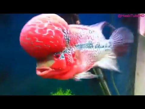 Ini Dia 7 Jenis Ikan Luohan Termahal Dan Terbesar Di Dunia