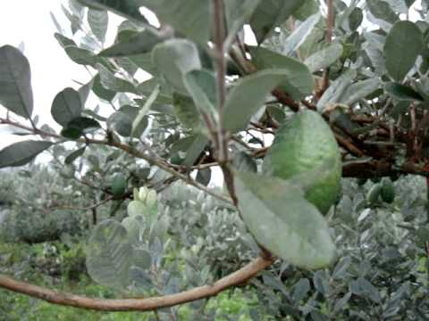 fruticultura - feijoa colombia -frutos-3/3 - youtube
