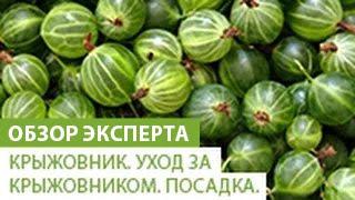 видео Выращивание крыжовника на Украине.