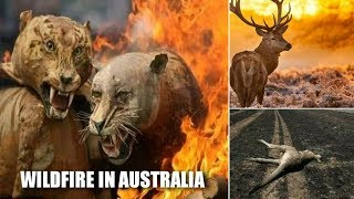 WILDFIRE IN AUSTRALIA | ALMOST HALF A BILLION ANIMALS DIED