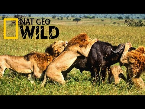 Amazing hunt by Lions - National Geographic