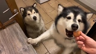 MALAMUTE FOOD AGGRESSION? | RAW EGG CHALLENGE