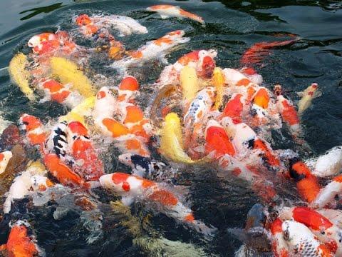 World biggest beautiful koi fish aquarium youtube for Huge koi fish