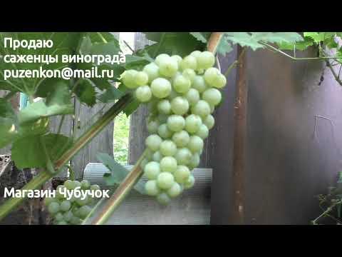 Виноград Цитронный Магарача - технические, винные сорта на участке Пузенко Натальи Лариасовны