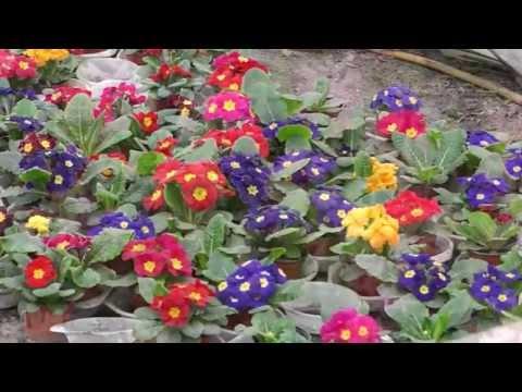 Весенние цветы.Примула