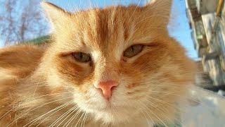 Рыжая кошка.