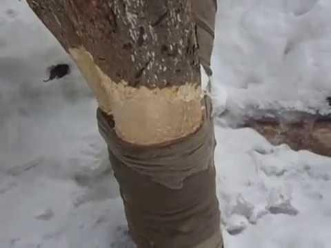 Как яблоню защитить от грызунов видео