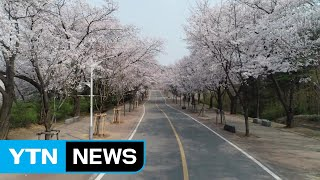 [인천] 폐쇄된 인천대공원과 월미공원의 화사한 벚꽃 SNS로 감상하세요 / YTN