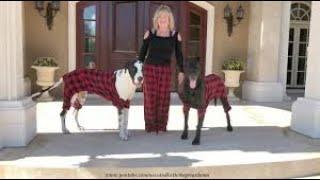 Great Danes wear pajamas for C…