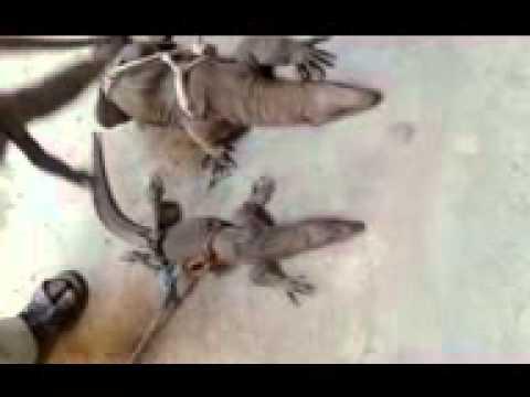 World famous lizard catch in pakistan