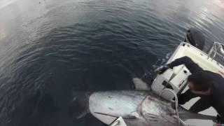 Swordfish 347kg Victoria Australia